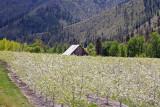 Pears In Bloom In Entiat Valley