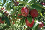 Entiat Is Pear And Apple Country