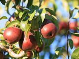 Red Bartlet Pears Ready For Picking