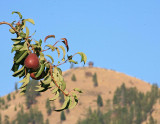 Red Bartlet Pears  Near Ardenvoir ( Steliko Lookout In Background)