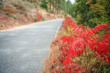 Red  Sumac Along Mad River Road On Fall Day