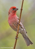 HouseFinch17c.jpg