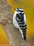 DownyWoodpecker81c.jpg