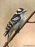DownyWoodpecker82c.jpg