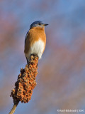 EasternBluebird08c.jpg