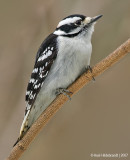 DownyWoodpecker83c9613.jpg