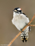DownyWoodpecker84c1274.jpg