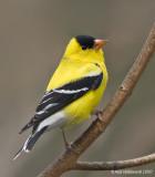 Goldfinch111c5792.jpg