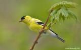 Goldfinch114c6247.jpg