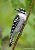DownyWoodpecker85c7011.jpg
