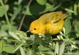 YellowWarbler05c7167.jpg