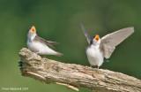 TreeSwallow14c0633.jpg