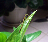 June11Mantis 015.jpg