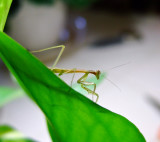 June11Mantis 033.jpg