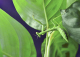 Mantis 9 July