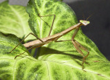 18 July Mantis