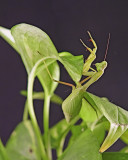 Mantis9Oct07_1691.jpg
