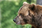 european_brown_bear