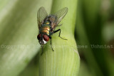 Greenbottle blow fly - Lucilia 07a.JPG