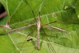 Tanyderidae - Crane Fly 07a.jpg