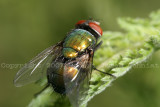 Greenbottle blow fly - Lucilia 07c.JPG