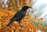 Tristams Starling