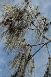 Native sheoak (casuarina)