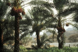 Date palms flourishing in an oasis