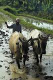 Sawah ploughing