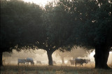 Sierra de Francia, Salamanca. Cattle grazing by the roadside in early morning