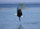 African fish eagle takes a bait on Lake Malawi