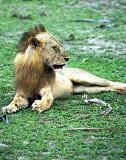 A lone lion