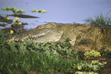 Crocodile lies in wait