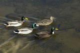Ducks on Loch Lomond