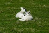 Spring lambs on Arran
