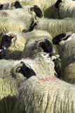 Mull sheep