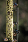 Blue Monarch butterflies gather at a grass tree