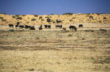 Cattle grazing beside the Birdsville Track