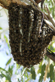 Hive of native bees, Kathleen Springs