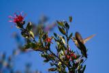 Hummingbird I.jpg