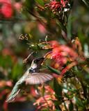 Hummingbird IV.jpg