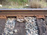 Texas Railroad kill