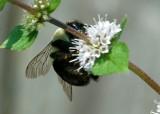 Enlarged_King_Bee_6.jpg