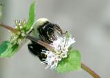 Enlarged_King_Bee_7.jpg
