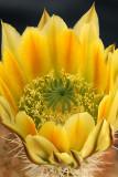 Echinocereus Closeup