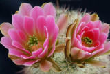 Hedgehog Blossoms