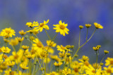 Brittlebush With Lupine Backdrop