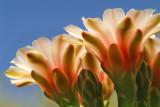 Chin Cactus Skyward