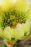 Chollo Blossom Closeup