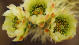 Chollo Blossoms